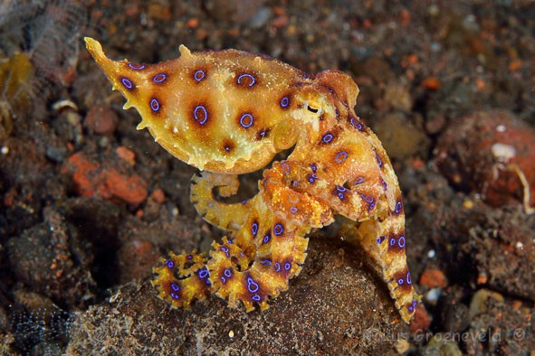 IB3-113_Hapalochlaena_lunulata,_Greater_blue-ringed_octopus_2