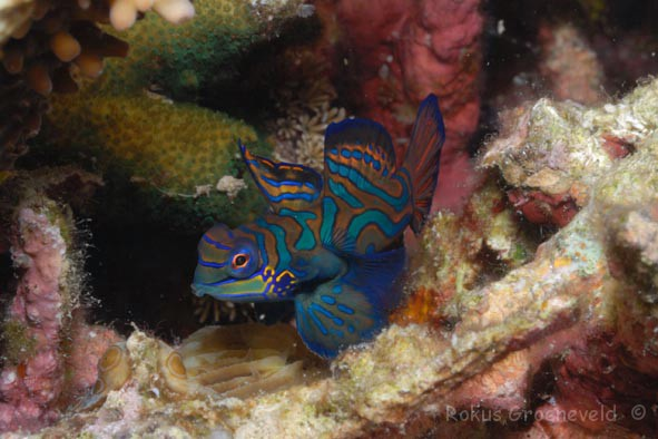 FMI-025 Mandarinfish, Synchiropus splendidus