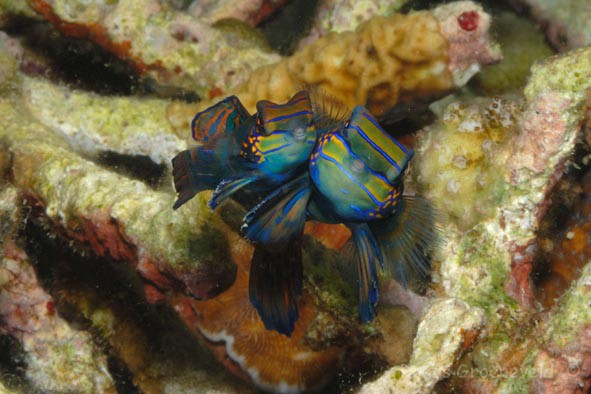 FMI-026 mating Mandarinfish, Synchiropus splendidus 1