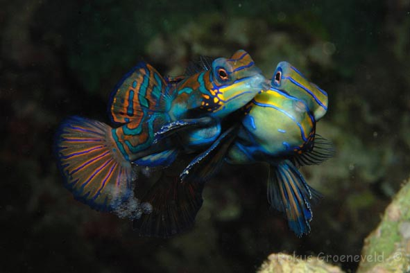 FMI-028 mating Mandarinfish- Synchiropus splendidus 3