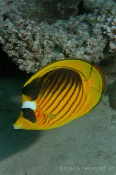 You uneasy Info on striped butterfly fish exclusively your