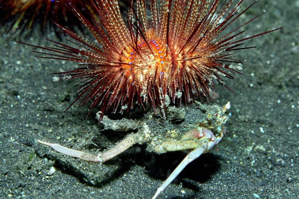 IL1-15 Sea Urchin Crab, Dorippe frascone carrying a Fire urchin, Astropyga sp.