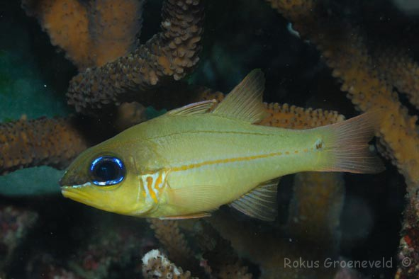 latest images of cardinal fish wikipedia