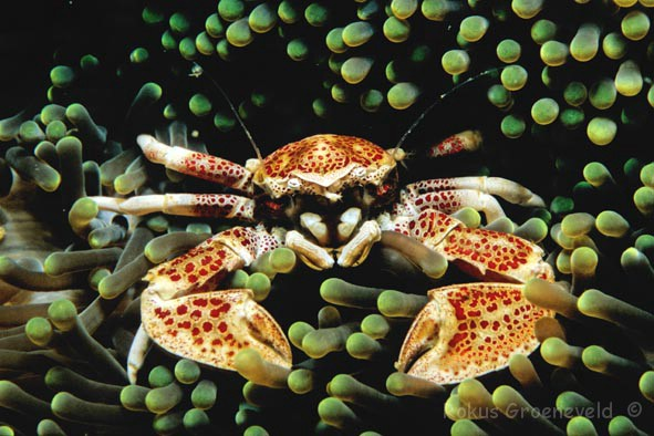 FPG-04 Spotted porcelain crab, Neopetrolisthes maculatus