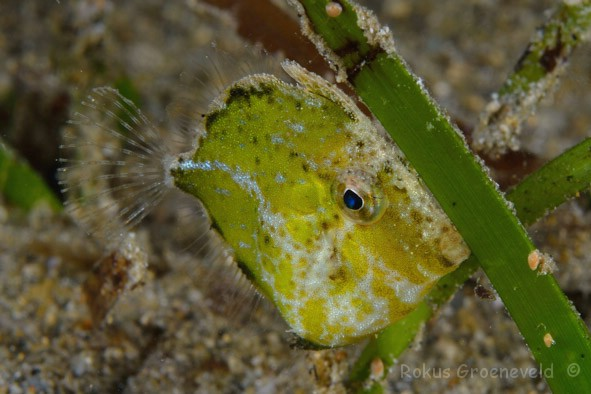 FRO-100_Rudarius_excelsus_Diamond_leatherjacket_or_Diamond_filefish