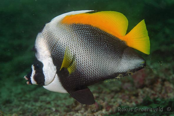 beautiful breeds of heniochus fishes underwater