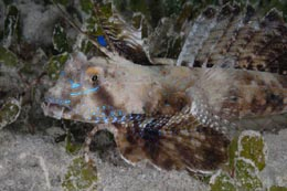FM2-030 Fingered dragonet, Dactylopus dactylopus, male