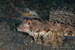 IL5-224 Fingered dragonet, Dactylopus dactylopus, male